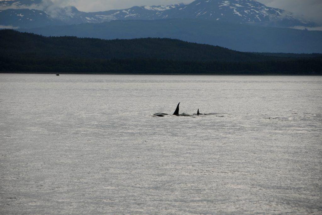 orcas whales Celebrity Cruise Alaska